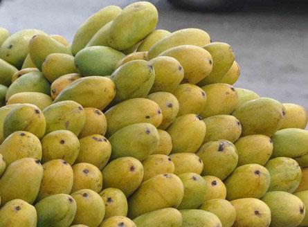 Picture of Dussehri mangoes Malihabad near lucknow